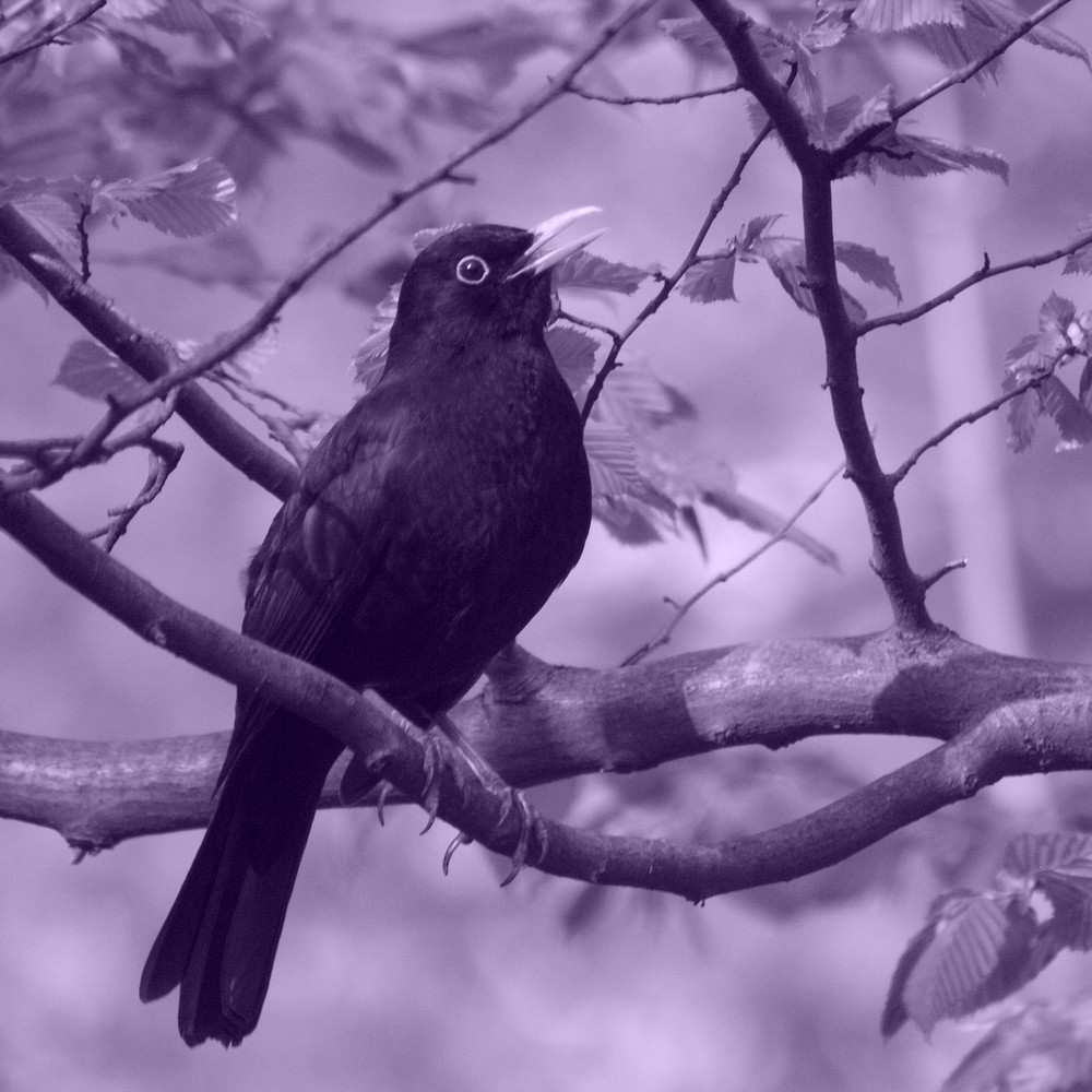 Blackbird representing Mabon Spell casting