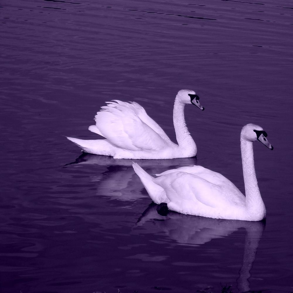 White swans representing Valentine Spell casting