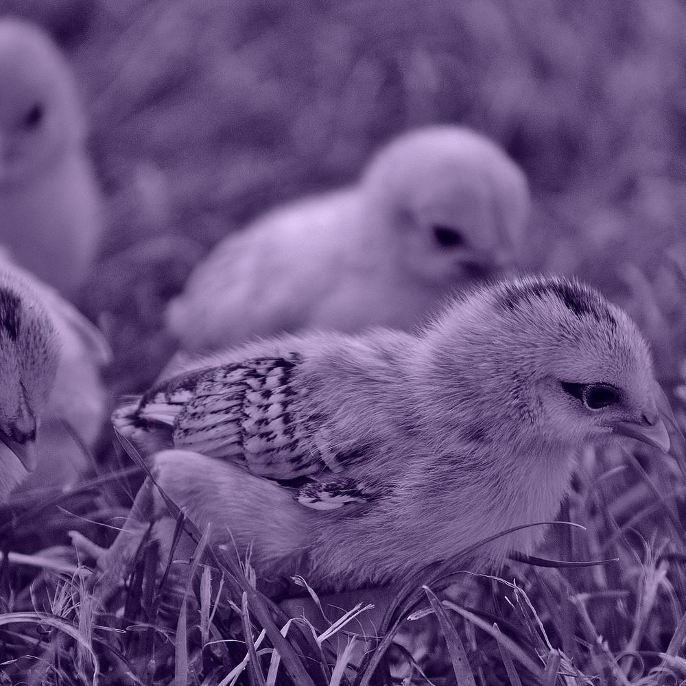 Ducklings representing Ostara Spell casting