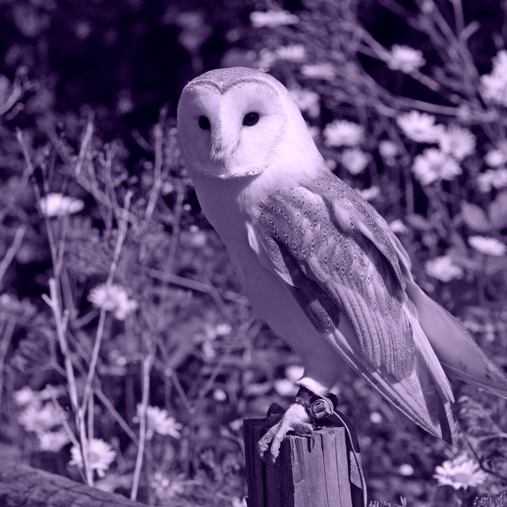 Barn Owl representing Imbolc Spell casting